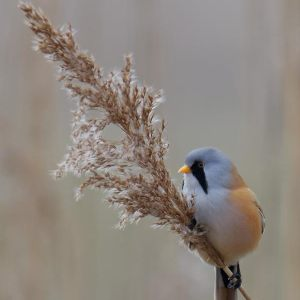 The Bearded Tit