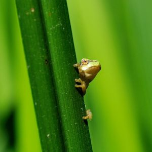 Amphibians of the Netherlands