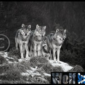 Amber Souls - Wolves in Scotland