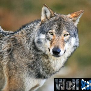 Stock Images - European Wolf  - Sotland
