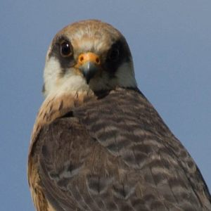 Red-footed falcons - 2010 2013