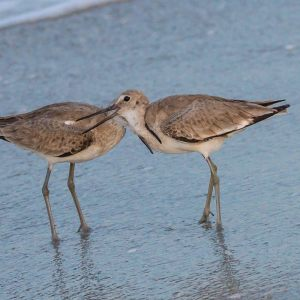 a glimps of conflict among willet at the beach,web