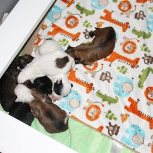 Safi Pups 10 Days Old